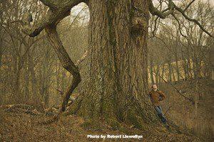 Champion red oak, (Quercus rubra). Photo by Robert Llewellyn