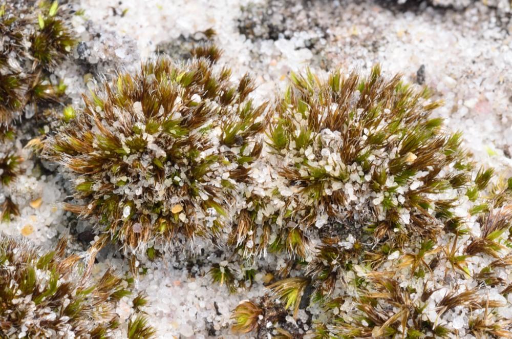 Savanna moss, (Campylopus carolinae). A globally rare moss of droughty longleaf pine habitats.