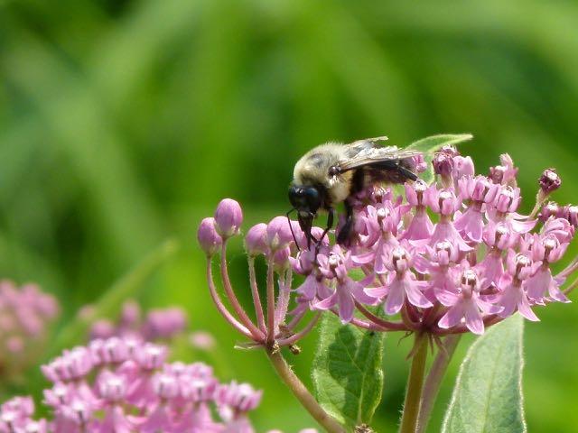 asclepias incarnata, bee