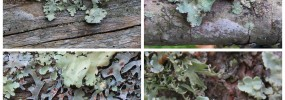 Top left: Common Greenshield. Top right: Powdered Ruffle.  Bottom left: Hammered Metal. Bottom right: Sinewed Ramalina