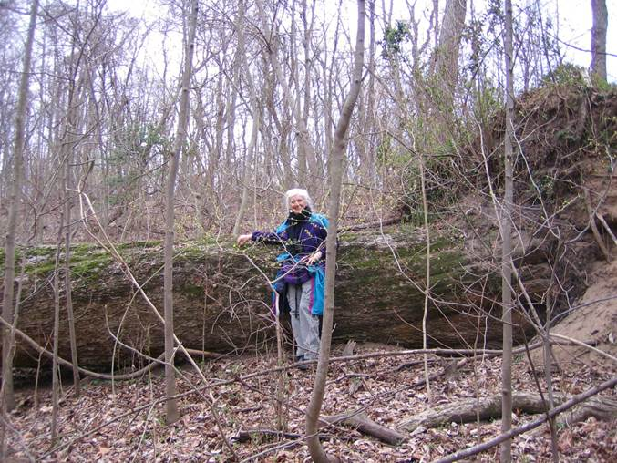 Bonnie Bick and former State Champion Chinquapin Oak (Quercus muehlenbergii) at Chapman State Park that was blown down by unusually high winds in late winter that followed unusually heavy, concentrated rainfall over the preceding several months.