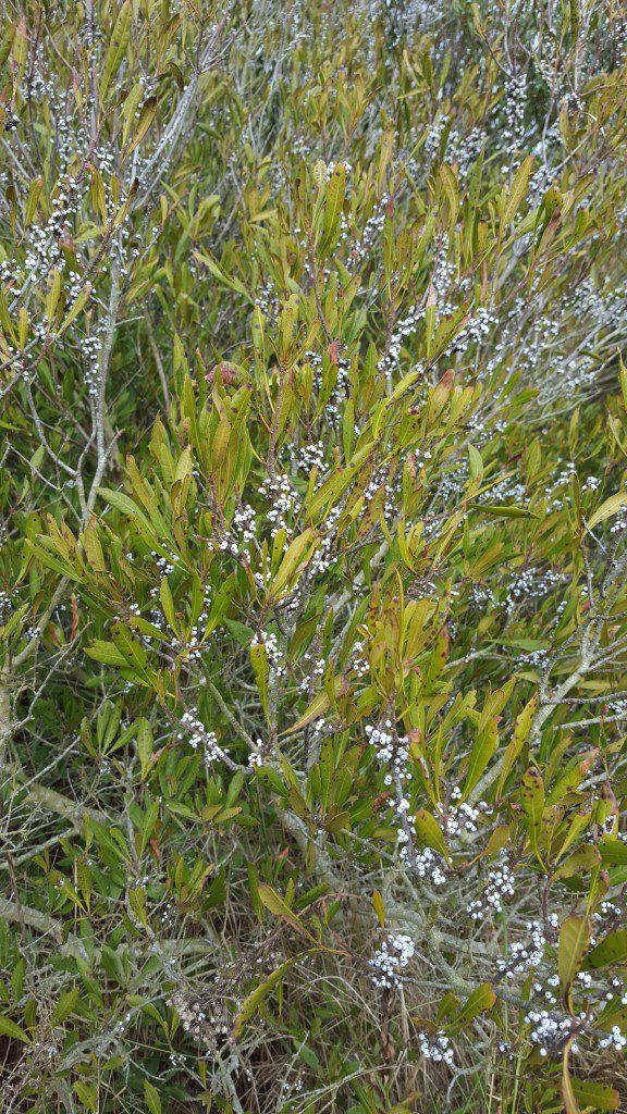 Wax Myrtle fruiting on Hog Island, Winter.