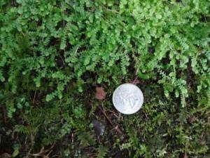 Lycopodioides apodum/Selaginella apoda, or Meadow Spikemoss