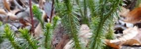 Huperzia lucidula, or Shining Clubmoss