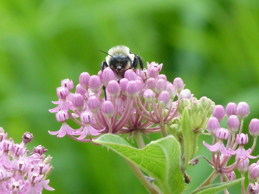 Swamp milkweed , (Asclepias incarnata) at work!