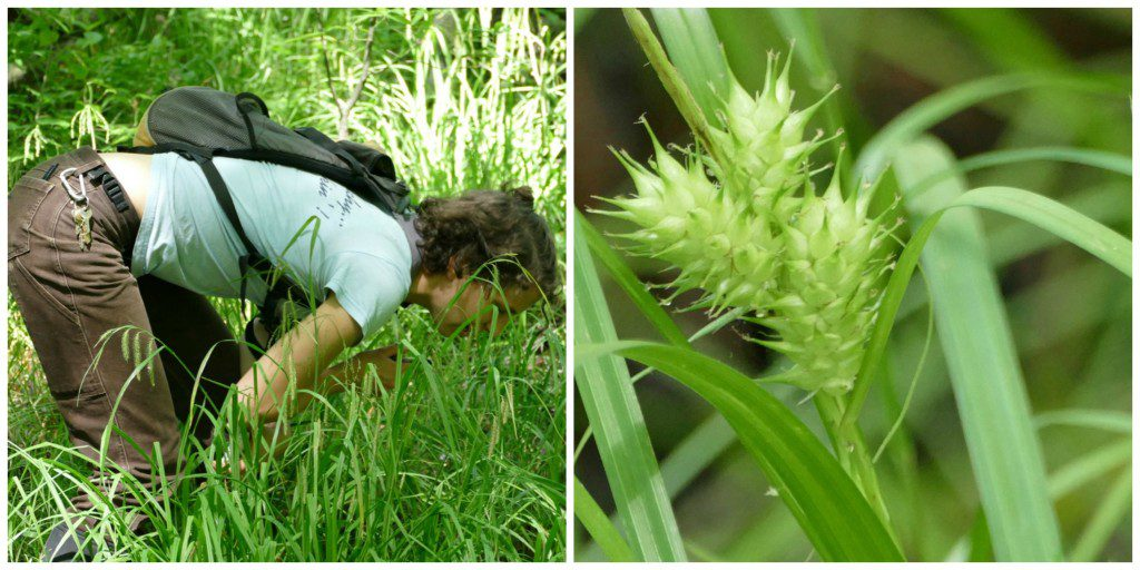 Alex gets down to make the determination!  Yes, Carex intumescens.
