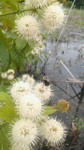Buttonbush, (Cephalanthus occidentalis), at Huntley Meadows.