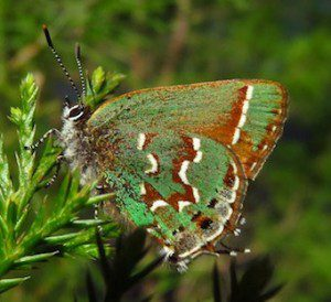 Juniper Hairstreak butterfly, (Callophrys gryneus), depends completely on Eastern Red Cedar - the only host plant in the east for its caterpillars. Photo: Devin Floyd