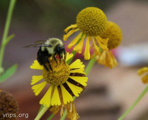 Native bumblebee on Sneezeweed, (Helenium autumnale).