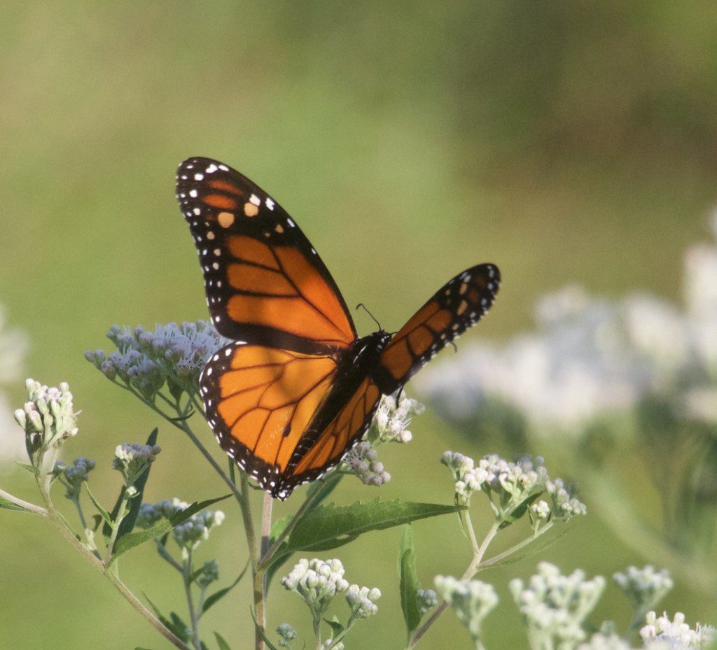 Monarch butterfly on Boneset, (Eupatorium perfoliatum). The garden is filled specifically with both nectar and host plants to support a wide range of pollinators