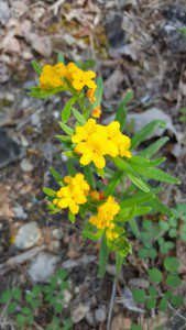 Hoary Puccoon (Nancy Vehrs)