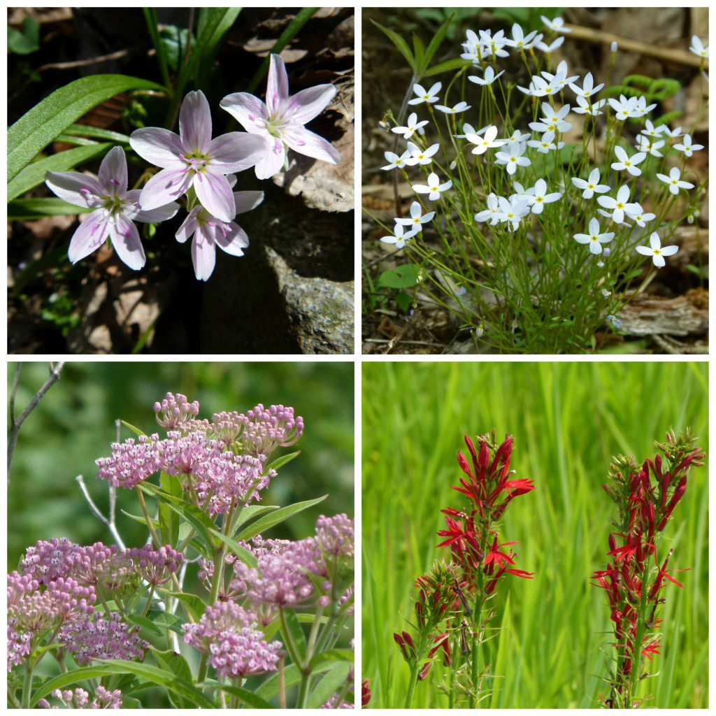 The memory of  a soil bank is an important resource. Top left: Spring Beauty, (Mertensia virginica), right: Bluets, (Houstonia caerulea). Bottom left: Swamp Milkweed, (Asclepias incarnata), right: Cardinal Flower, (Lobelia cardinalis). VNPS images