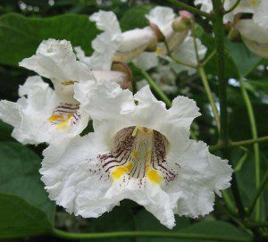 Downtown Williamsburg Field Trip - Catalpa Tree by Jan Newton