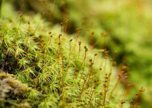 Apple moss (Bartramia pomiformis) in Ferns & Mosses of Virginia's Coastal Plain. Photo by Jan Newton