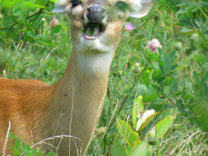 White-tailed deer are spreading invasive species throughout the United States. Photo taken by Betty Truax.