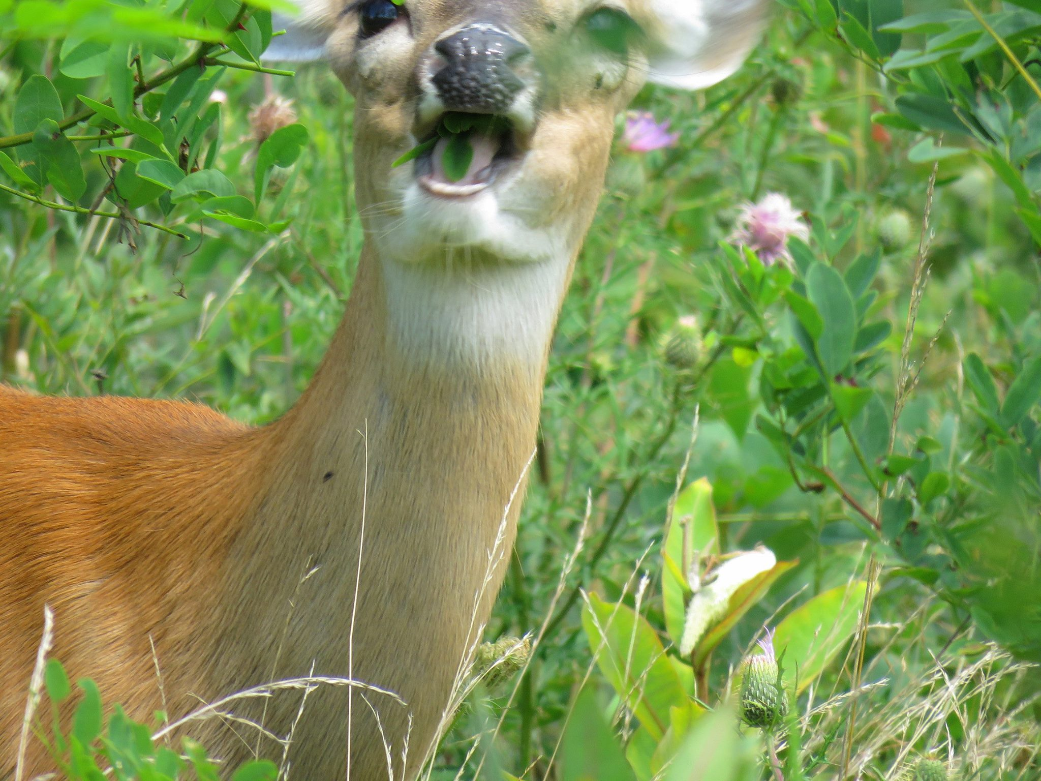 """When the """"Good Guys"""" Go Bad: The Role of Native Fauna in the Spread of Invasive Plants"""