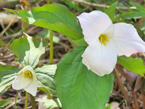 Trillium species, such as the great white trillium (Trillium grandiflorum) are being outcompeted by garlic mustard as a result of disturbance by white-tailed deer. Photo taken by Betty Truax.