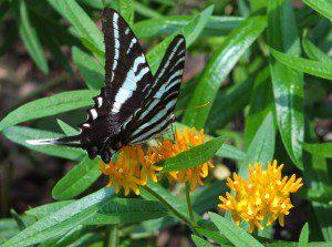 VLM Field Trip - Zebra Swallowtail - Butterfly Weed