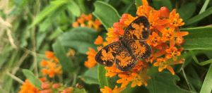 Butterfly sitting on butterfly-weed