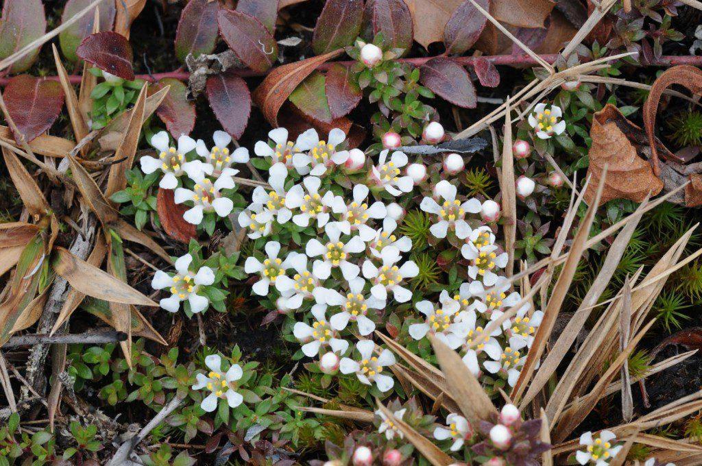 City of Suffolk. Growing with state-rare creeping blueberry (Vaccinium crassifolium). Photo: Zach Bradford