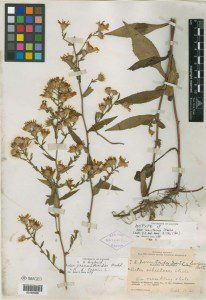 Aster schistosus specimen collect by Edward Steele in 1906 at the New York Botanical Garden, CC BY-NC
