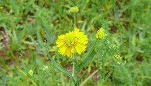 Virginia Sneezeweed (Helenicum virginicum) by Sally Anderson