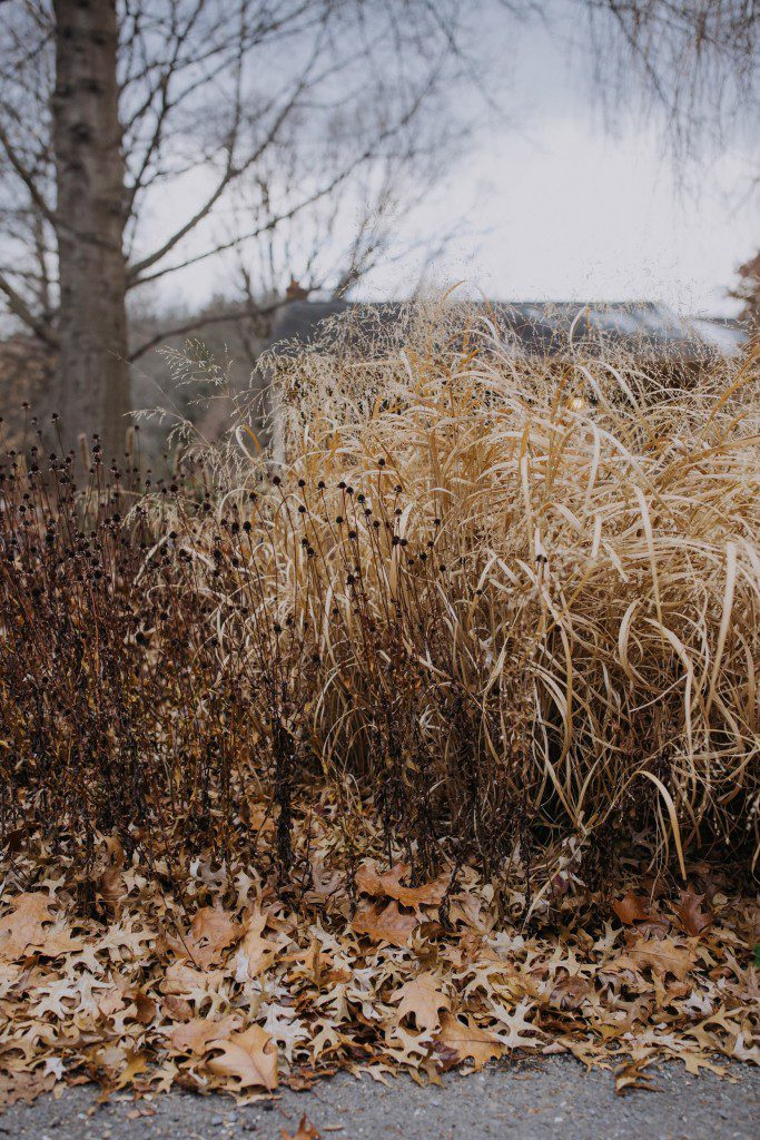 Native plants can provide winter interest through texture: Orange coneflower (Rudbeckia fulgida) and switchgrass (Panicum virgatum) with oak leaves.