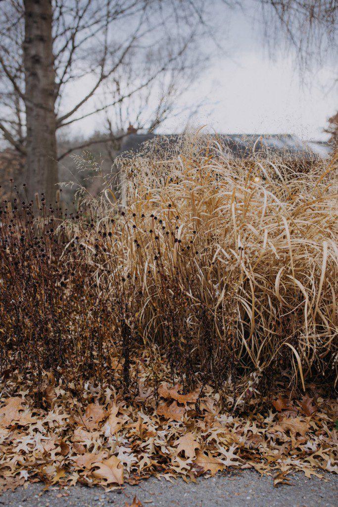 Native plants can provide winter interest through texture: Orange coneflower (Rudbeckia fulgida) and switchgrass (Panicum virgatum) with oak leaves.