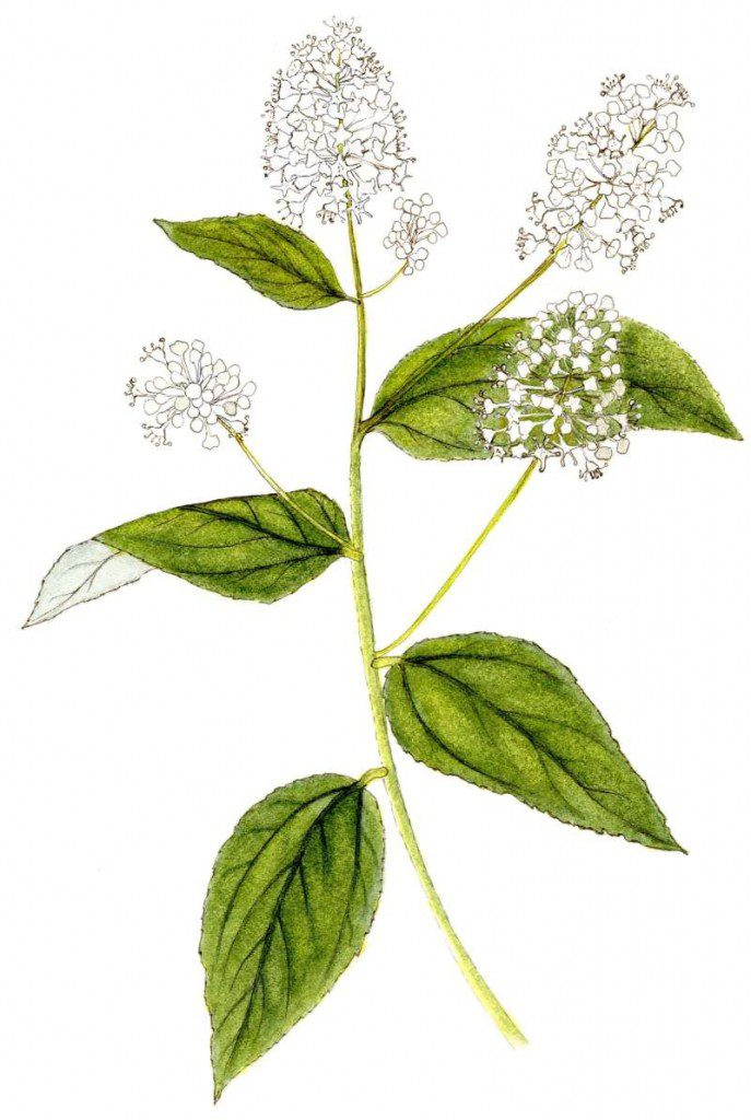 Ceanothus americanus - VNPS 2019 Wildflower of the Year - Illustration by Betty Gatewood