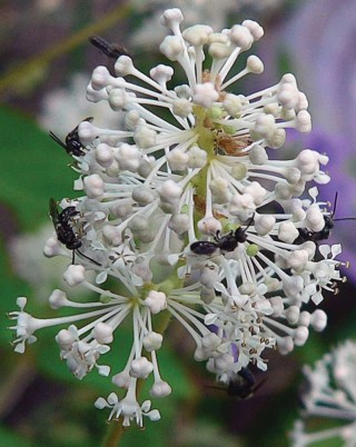 Ceanothus americanus - VNPS 2019 Wildflower of the Year - Photo by Betty Truax