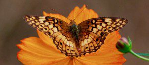 Variegated Fritillary on Cosmos by Janet Pawlukiewicz