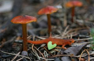 Waxcaps (Hygrocybe) with newt - Photo by Penny Firth
