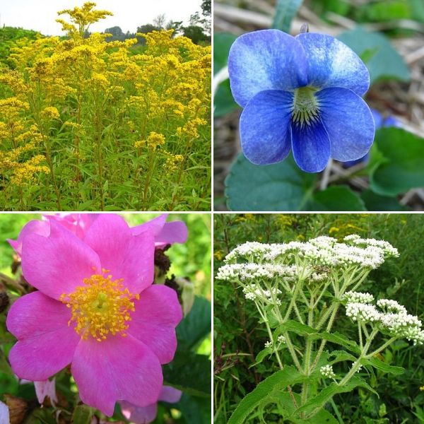 Medicinal Native Plants Collage