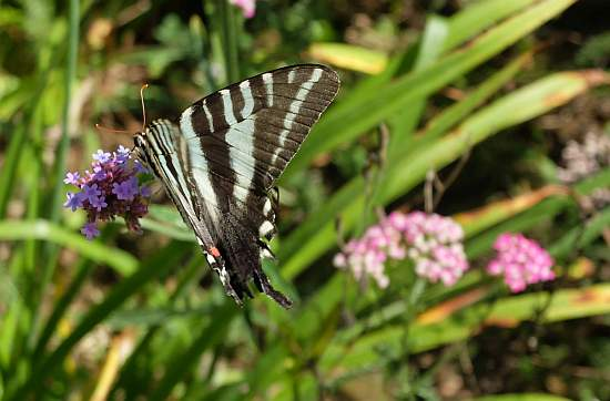 Zebra Swallowtail Nectaring on Verbena by Mary Lee Epps