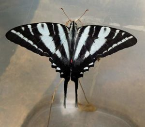 Zebra Swalltail Newly Emerged by Mary Lee Epps