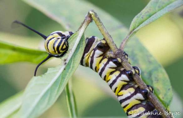 Monarch Caterpillar on Swamp Milkweed (Asclepias incarnata) by Mary Anne Borge