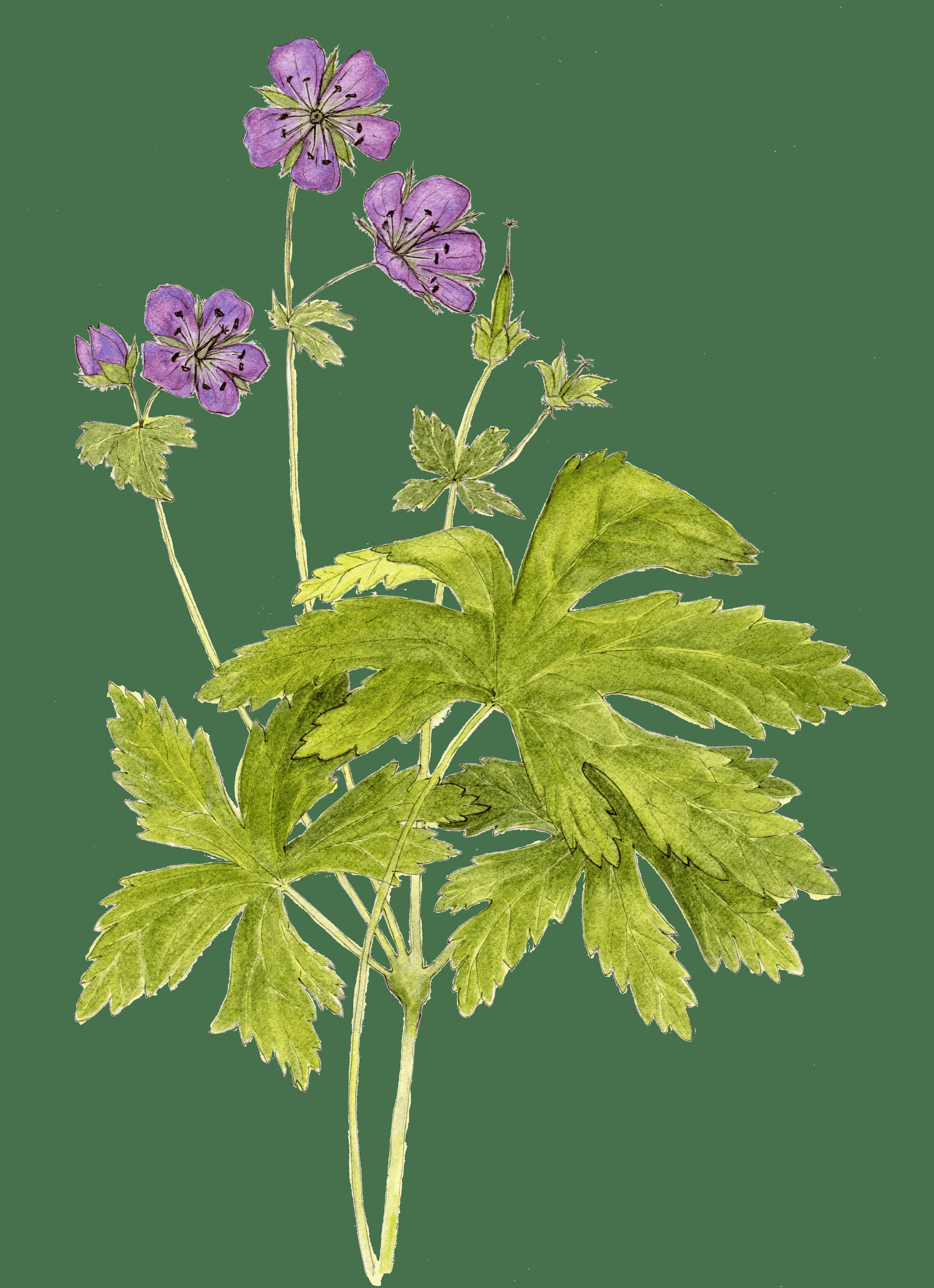 Wildflower Of The Year 2020 Wild Geranium Geranium Maculatum Virginia Native Plant Society