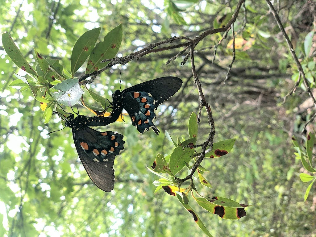 The Pipevine Swallowtail Butterfly and its Native Host Plants